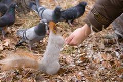 Esquilo de alimentação Fotografia de Stock Royalty Free