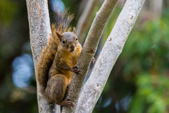 Esquilo de Brown Imagem de Stock Royalty Free