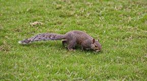 Esquilo de Brown Foto de Stock