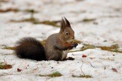 Esquilo de Brown no inverno Foto de Stock