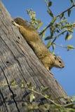 Esquilo de Bush de Smith Foto de Stock