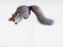 Esquilo de cinza oriental Imagens de Stock