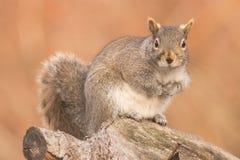 Esquilo de cinza oriental Foto de Stock Royalty Free
