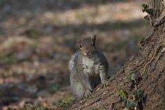 Esquilo de cinza oriental Fotografia de Stock Royalty Free