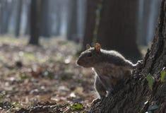 Esquilo de cinza oriental Foto de Stock