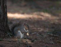 Esquilo de cinza oriental Fotos de Stock Royalty Free