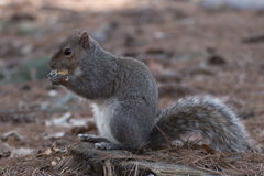 Esquilo de cinza oriental Fotografia de Stock