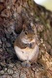 Esquilo de cinza oriental, carolinensis do sciurus Fotografia de Stock