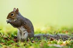 Esquilo de cinza oriental (carolinensis do Sciurus) Fotografia de Stock Royalty Free