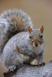 Esquilo de cinza oriental (carolinensis do Sciurus) Imagens de Stock