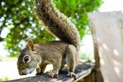Esquilo de Curisous Imagem de Stock