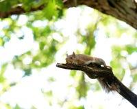Esquilo de descanso Imagem de Stock Royalty Free