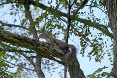 Esquilo de descanso Foto de Stock Royalty Free