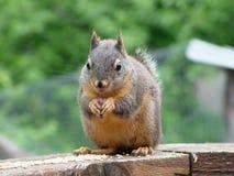 Esquilo de Douglas Fotografia de Stock
