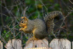 Esquilo de Fox fotos de stock