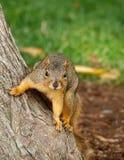 Esquilo de Fox oriental Foto de Stock Royalty Free
