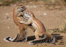 Esquilo de Karate Kid Foto de Stock Royalty Free