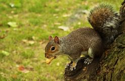 Esquilo de Londres Fotografia de Stock