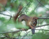 Esquilo de Northwoods Foto de Stock