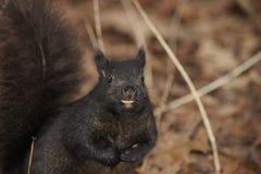 Esquilo de noz do sorriso Fotos de Stock Royalty Free