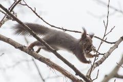 Esquilo de salto Imagens de Stock
