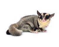Esquilo de voo, Sugarglider foto de stock