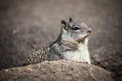 Esquilo de Yosemite Fotos de Stock