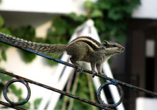 Esquilo descascado Fotografia de Stock Royalty Free