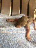 Esquilo do bebê Fotos de Stock
