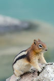 Esquilo do esquilo Imagem de Stock Royalty Free