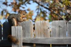 Esquilo do inverno Fotografia de Stock Royalty Free