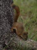 Esquilo do pinho Imagens de Stock Royalty Free