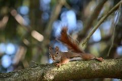 Esquilo do pinho fotografia de stock royalty free