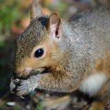 Esquilo do quintal que come sementes fora das mãos fotos de stock