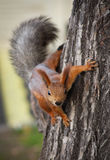 Esquilo do registro em uma árvore Fotografia de Stock