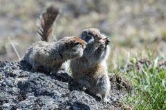 Esquilo dois à terra bonito Foto de Stock