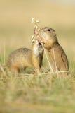 Esquilo dois à terra europeu com a orelha da aveia Fotografia de Stock Royalty Free