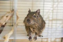 Esquilo doméstico engraçado do degu em sua casa Imagens de Stock Royalty Free