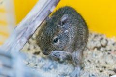 Esquilo doméstico engraçado do degu em sua casa Fotos de Stock