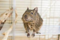 Esquilo doméstico engraçado do degu em sua casa Foto de Stock