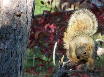 Esquilo e cauda na luz da manhã Foto de Stock Royalty Free