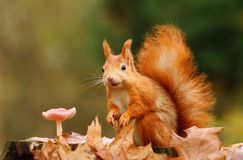 Esquilo e cogumelo Foto de Stock Royalty Free