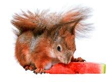 Esquilo e melancia Fotos de Stock Royalty Free