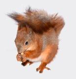 Esquilo e milho engraçados Foto de Stock Royalty Free