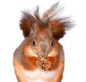 Esquilo e milho engraçados Imagens de Stock