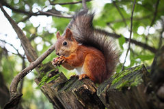 Esquilo e porca da floresta Foto de Stock