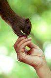 Esquilo Eatting Fotos de Stock Royalty Free