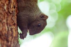 Esquilo Eatting Imagem de Stock Royalty Free
