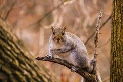Esquilo em Central Park fotos de stock