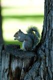 Esquilo em North Dakota Imagem de Stock